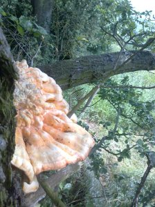 Pic of Chicken of the Woods