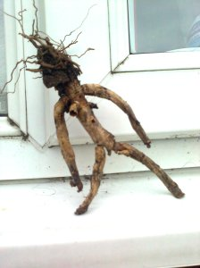 A root that looks like a person
